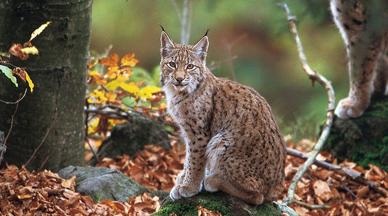 lynx photo credit Joachim Flachs