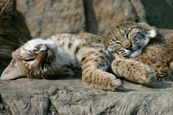 Sleeping Eurasian Lynx