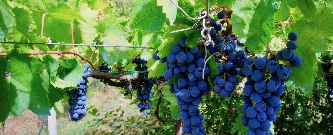 Montenegro's National Drink – The making of Rakija