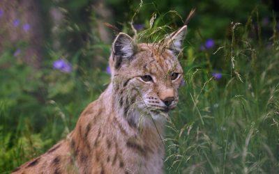 Interview sur l'expédition du Lynx des Balkans